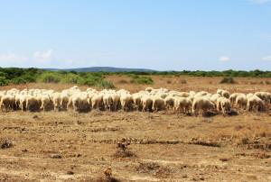 La #blue tongue in Sardegna è sotto controllo. I dati aggiornati a ieri, 9 ottobre, registrano 7 focolai di malattia con 13 animali morti.