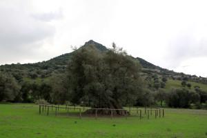Ritmo Naturale è il tema della XXII edizione della Sagra delle Olive, in programma sabato 21 e domenica 22 ottobre a S'Ortu Mannu di Villamassargia.