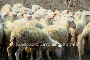 Pecore 1 copia