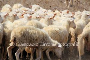 Il Consiglio regionale domani esaminerà il disegno di legge sul sostegno alle imprese del comparto ovino.