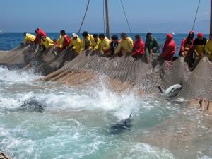 Paolo Dessì (PSd'Az) e Alessandra Zedda (Forza Italia) sono i primi firmatari di un'interrogazione per la salvaguardia delle tonnare di Sardegna.