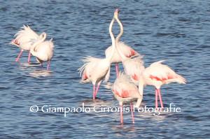 La stagione dell'amore dei #fenicotteri rosa negli stagni di #Is Solinas.
