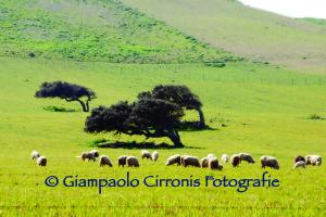 Pecore a Gonnesa 2 copia