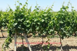 """La magia del vino a Ussana, da domani a domenica una 4 giorni con """"Tempus de Binnenna""""."""