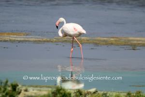 Lo spettacolo dei fenicotteri rosa negli stagni di Is Solinas.