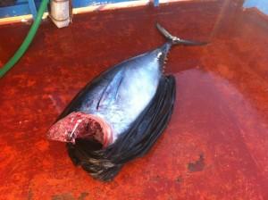 """La Guardia Costiera ha sequestrato un esemplare di tonno rosso, poi donato al """"Centro di Accoglienza Don Vito Sguotti""""."""