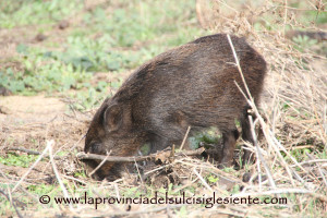 Il 10 settembre scadono i termini per la presentazione delle domande per la caccia in deroga al cinghiale nelle zone infette da PSA.