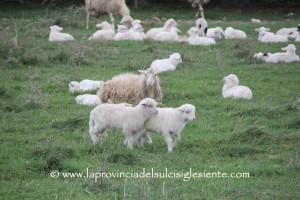 Pecore 2015 1