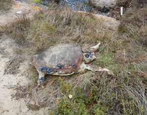 """Una tartaruga """"Caretta Caretta"""" è stata trovata morta a Punta Trettu."""