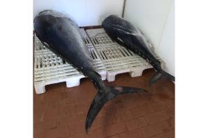 Gli uomini della Guardia Costiera di Sant'Antioco hanno sequestrato due esemplari di tonno rosso per un totale di 233,60 kg.