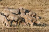 La Regione Sardegna ha ottenuto la rimozione dei limiti della movimentazione dei capi bovini, ovini e caprini