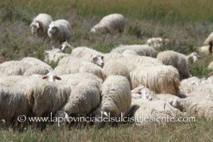 Dall'11 giugno all'11 luglio le domande per gli aiuti alle aziende agricole sede di focolaio di febbre catarrale degli ovini.