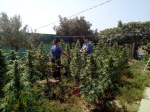 I carabinieri di Quartu hanno arrestato un 59enne per coltivazione ai fini di spaccio di sostanze stupefacenti.
