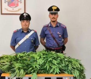 I carabinieri di Dolianova hanno rinvenuto in un terreno demaniale di Serdiana, due piante di cannabis indica per complessivi 12,5 kg.