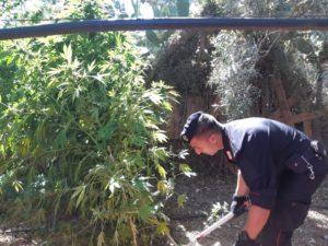 I carabinieri di Guspini hanno denunciato a piede libero un 55enne del posto, per detenzione ed illecita coltivazione di sostanze stupefacenti.