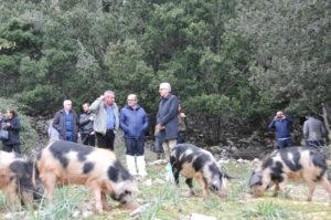 E' stata ufficializzata oggi, a Urzulei, la regolarizzazione dei 48 allevamenti di maiali, con la registrazione di circa 500 capi.