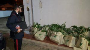I carabinieri della stazione di Serramanna hanno arrestato un pregiudicato 40enne per il furto di 1.200 piante di carciofi.