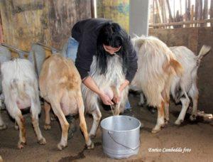 Tore Piana (Centro Studi Agricoli): «A causa dell'assenza del metano, i maggiori costi energetici incidono in 8 centesimi al litro di latte di pecora prodotto».