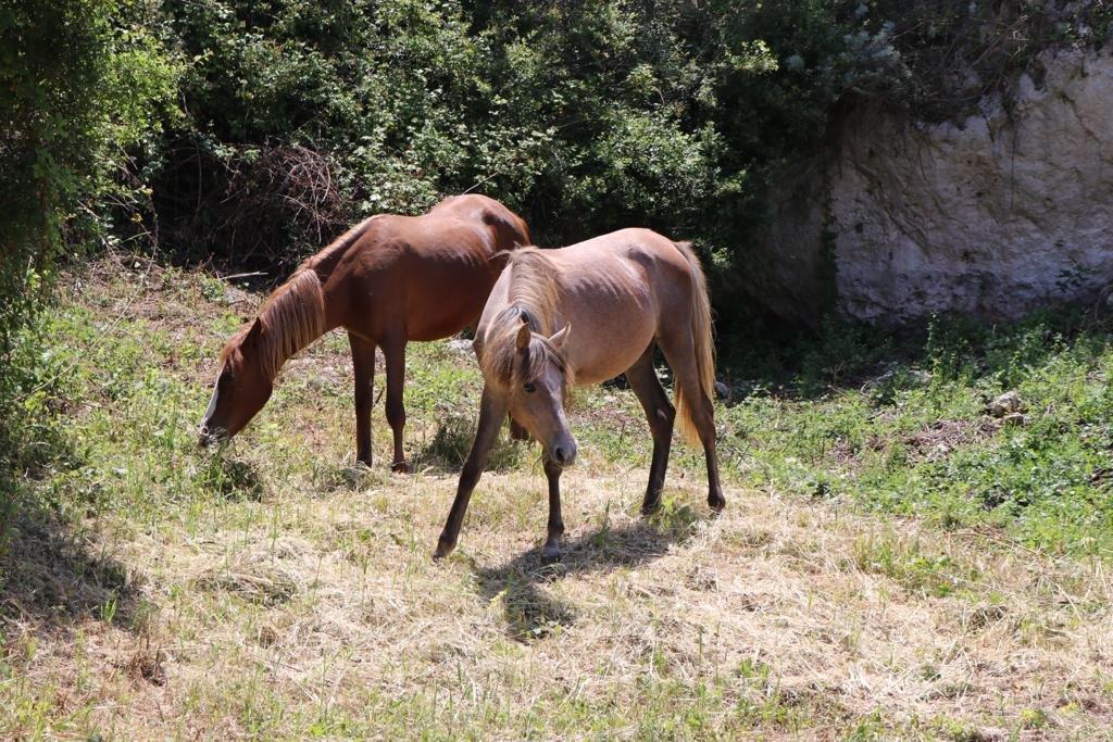 Il comune di Sennori ha adottato due cavalline dell'Asinara.