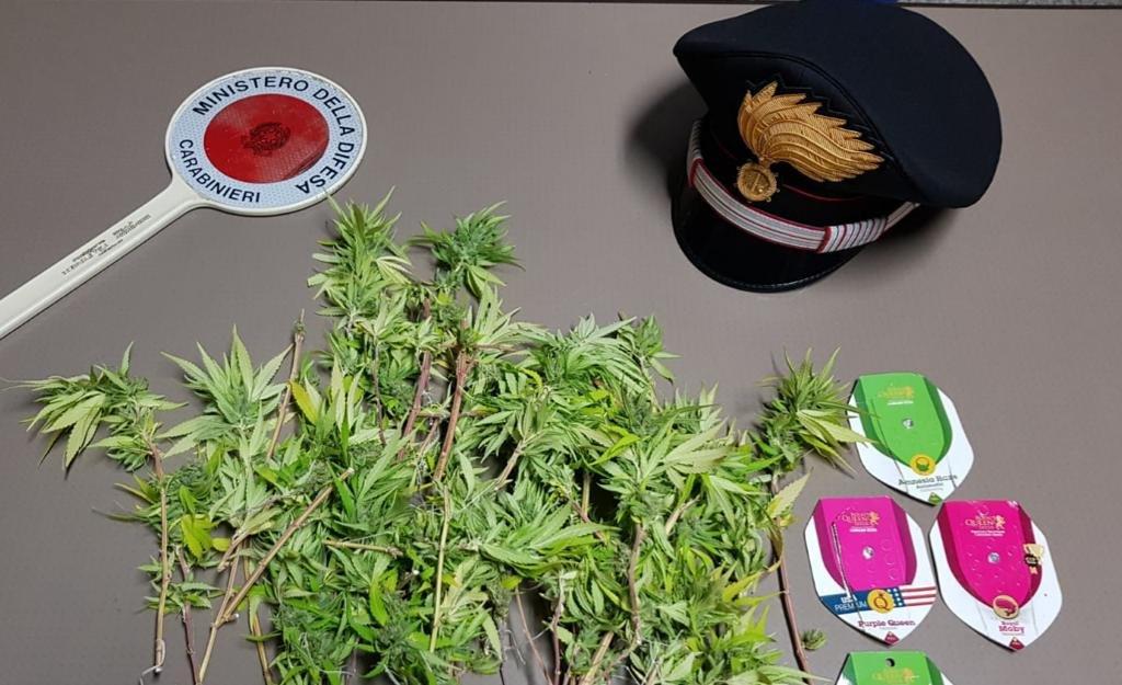 """I carabinieri della compagnia di Iglesias hanno sequestrato una ventina di piante di """"cannabis indica"""" in località San Giovanni, a Domusnovas."""