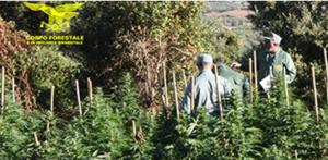 Il personale della Stazione forestale e di v.a. di Tonara, durante un'operazione di controllo del territorio, ha scoperto, in località Leitzai, in agro del comune di Tiana, una coltivazione di cannabis.