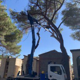 Sono in corso, a Carbonia, i lavori di abbattimento di due esemplari di Pinus Pinea sul viale del cimitero